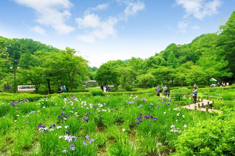 花しょうぶ田の様子