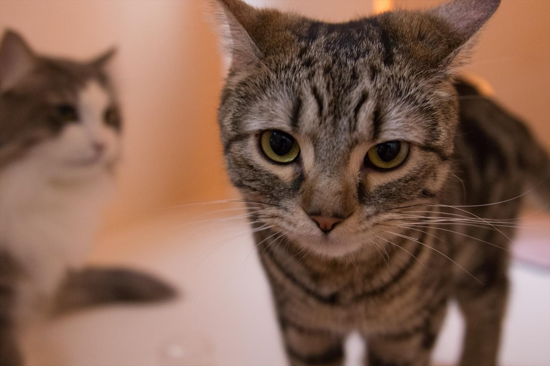 猫カフェ「Cat Cafe てまりのおしろ(有料、10歳以上入場可能)」では、可愛い猫ちゃんが自由に歩き回ってます。一緒に撮影もOK。餌(有料)をあげると直ぐに寄ってきて可愛いんです。